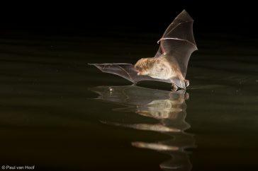 Tijdens de jacht harkt de watervleermuis zijn prooi van het wateropppervlak met zijn achterpoten.
