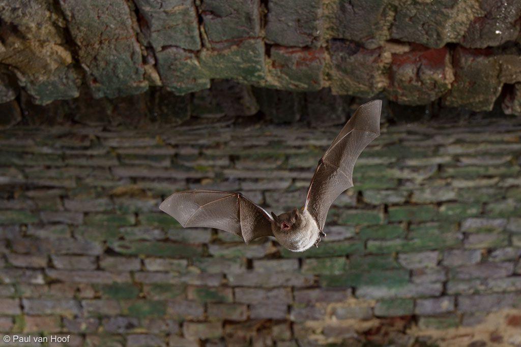 Watervleermuis vliegt door de kelder waar hij later zal overwinteren.