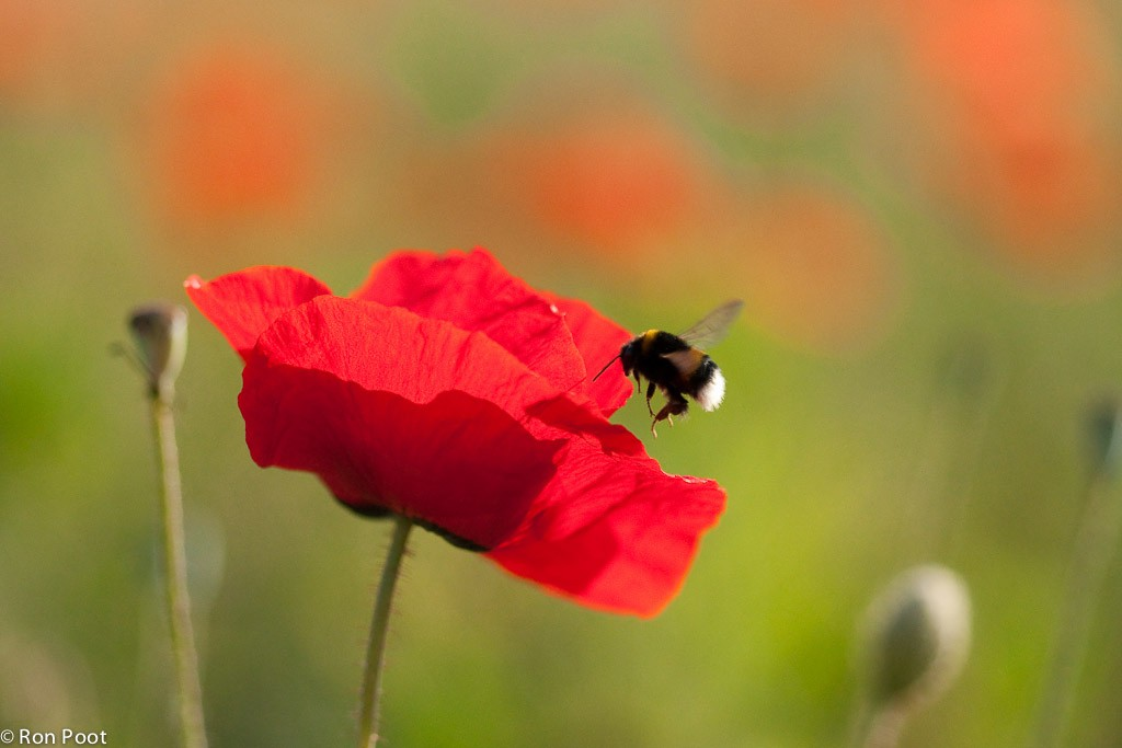 Een hommel bezoekt een bloem van de grote klaproos.