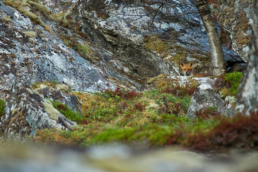 Vos in rotslandschap op de Lofoten