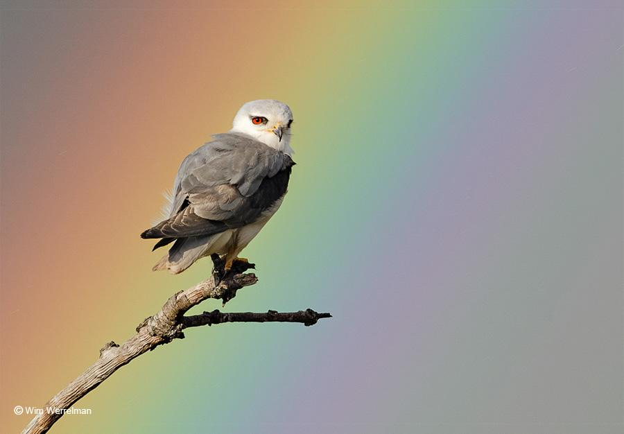 Grijze wouw met regenboog.
