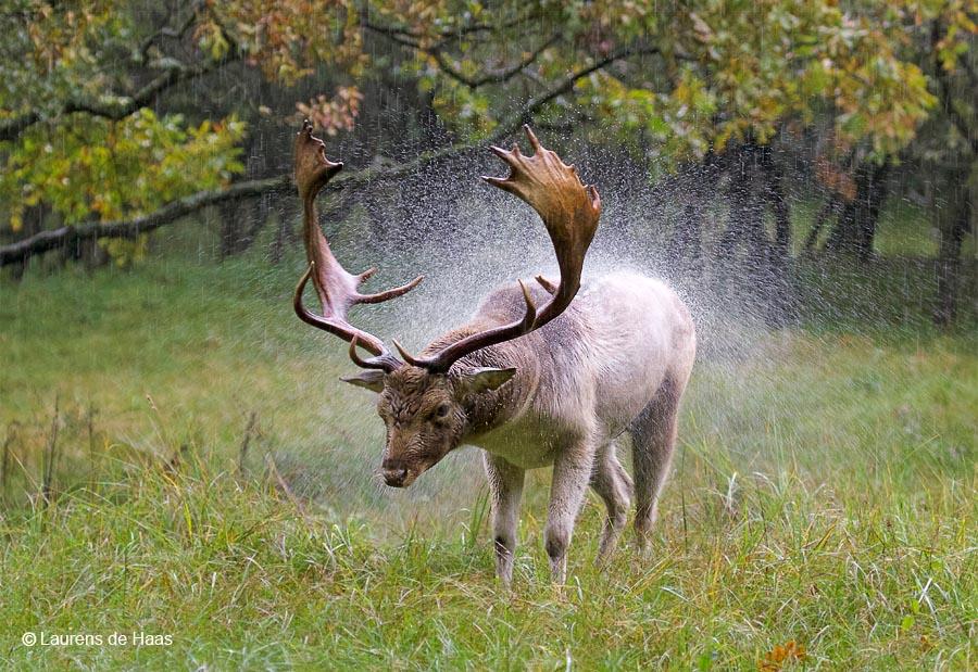 Damhert schudt de regen van zich af
