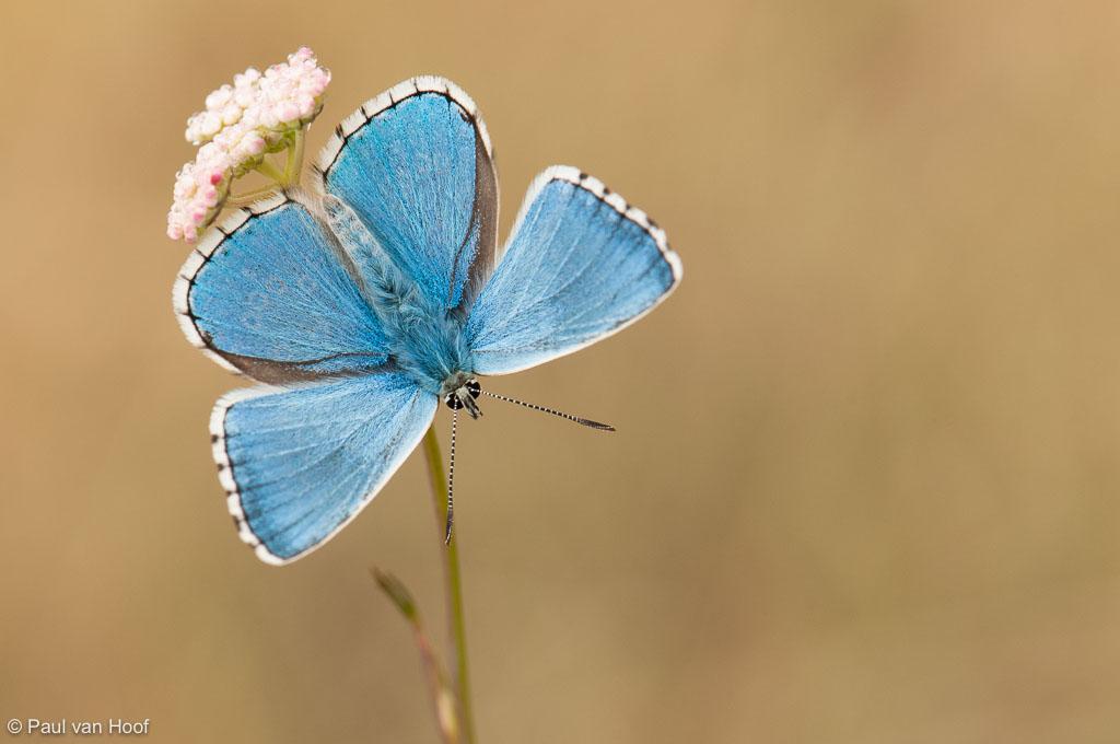 Adonisblauwtje mannetje, Frankrijk