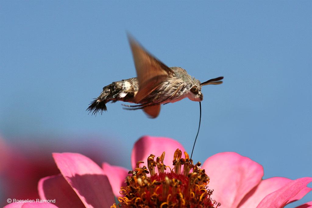 Kolibrievlinder, Griekenland