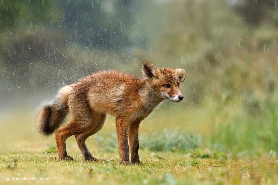 Nat vossenwelpje