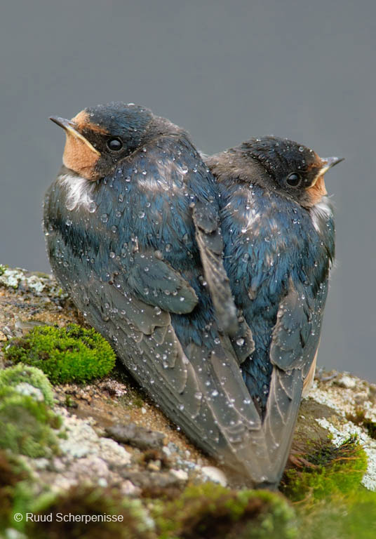 Boerenzwaluwen, samen in de regen