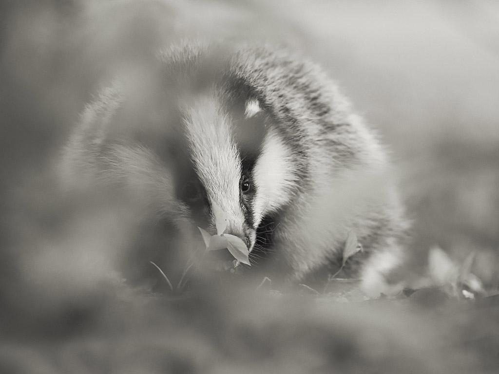 11)Door het gebladerde heen fotograferen maakt het beeld spannender. Spel van scherp en onscherp accentueert mooi de blik van het dier