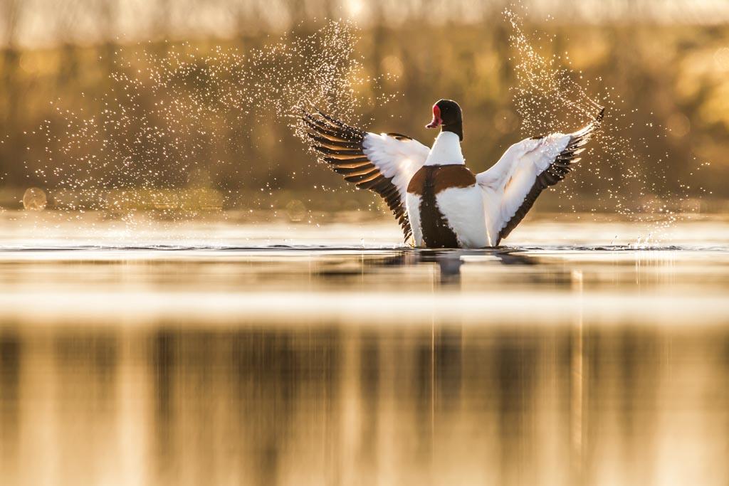 Bergeend strekt de vleugels na een bad.