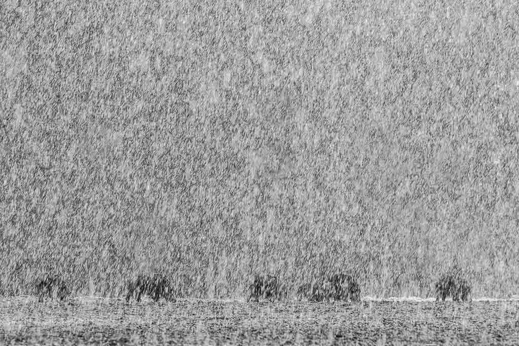 Wilde zwijnen in de regen