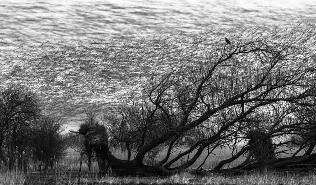 Duizenden drukke spreeuwen tijdens hun avondvlucht met een rustende buizerd in de omgevallen wilg.
