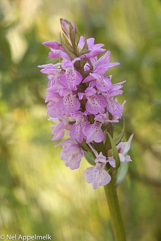 gevlekte-orchis
