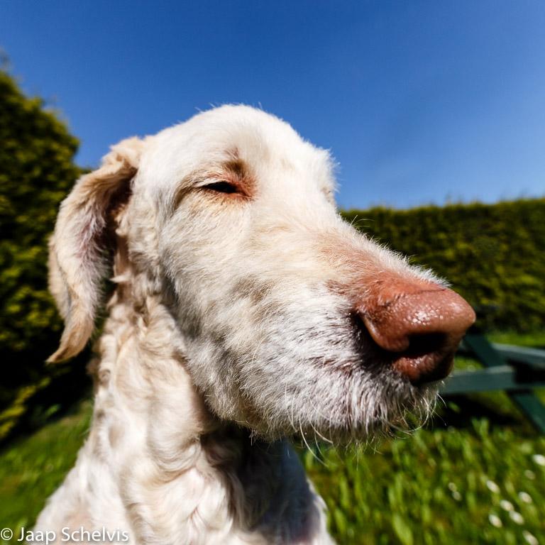 Geen lensfout, geen vertekening, maar het bewust toepassen van de perspectivische vertekening van een ultragroothoek om de forse neus van mijn hond te benadrukken.