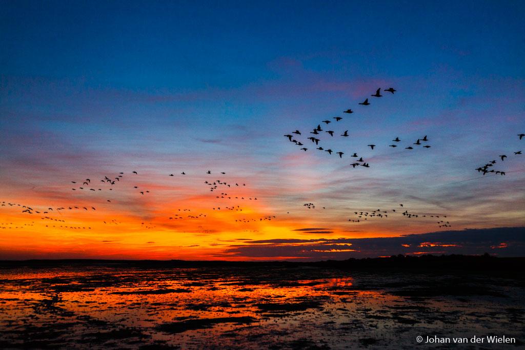 Een waanzinnig moment, de zon kleurt werkelijk zó dieprood na de ondergang als duizenden brandganzen overkomen op weg naar veilige waddenzee, Schiermonnikoog