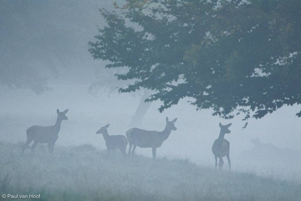 Kudde edelhert hindes in de mist onder bomen; Herd of red deer cows in mist under trees