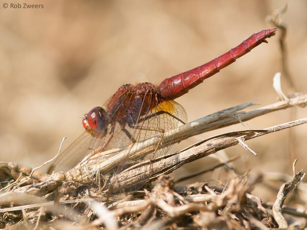 Een 'andromorphe' vorm van een vrouwtje Vuurlibel; rood gekleurd, maar de legschede verraadt haar ware aard.
