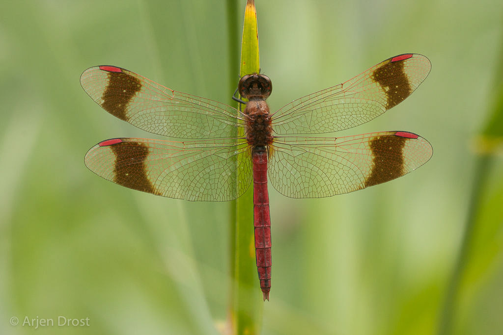 Bandheidelibellen zijn eenvoudig in beide seksen te herkennen aan de donkere vleugelbanden. Dit is een mannetje.