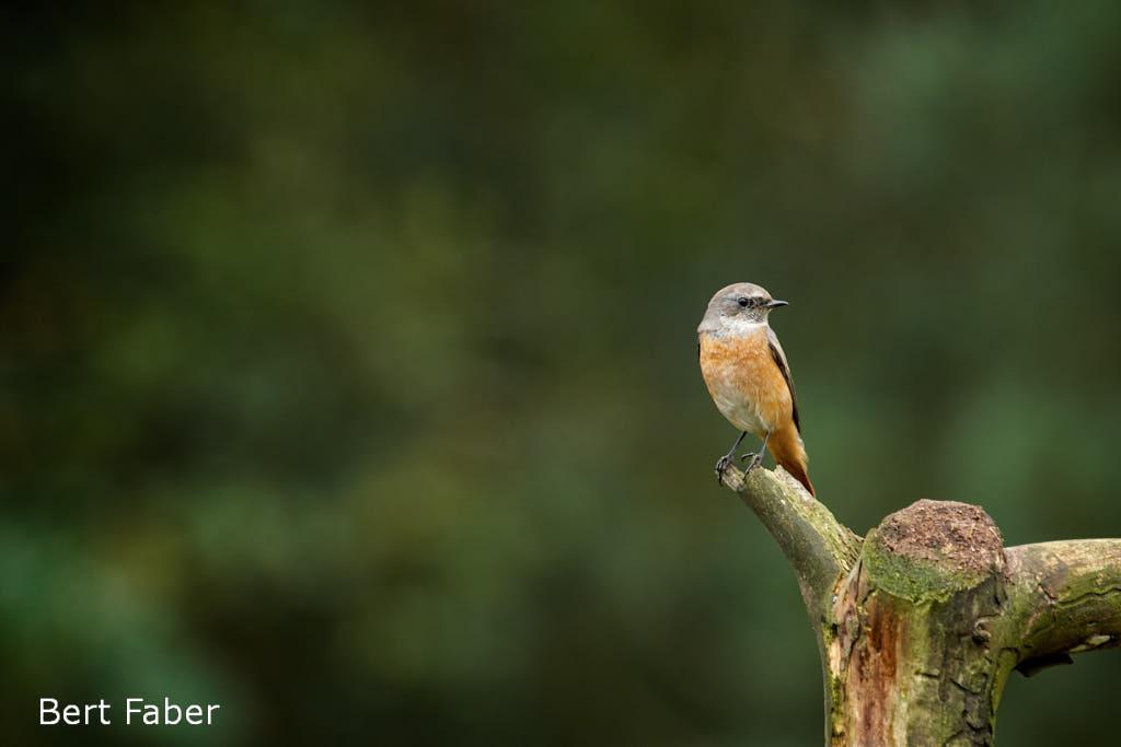 Resultaat lange dagwacht wachtend in de vogelhut: gekraagde roodstaart