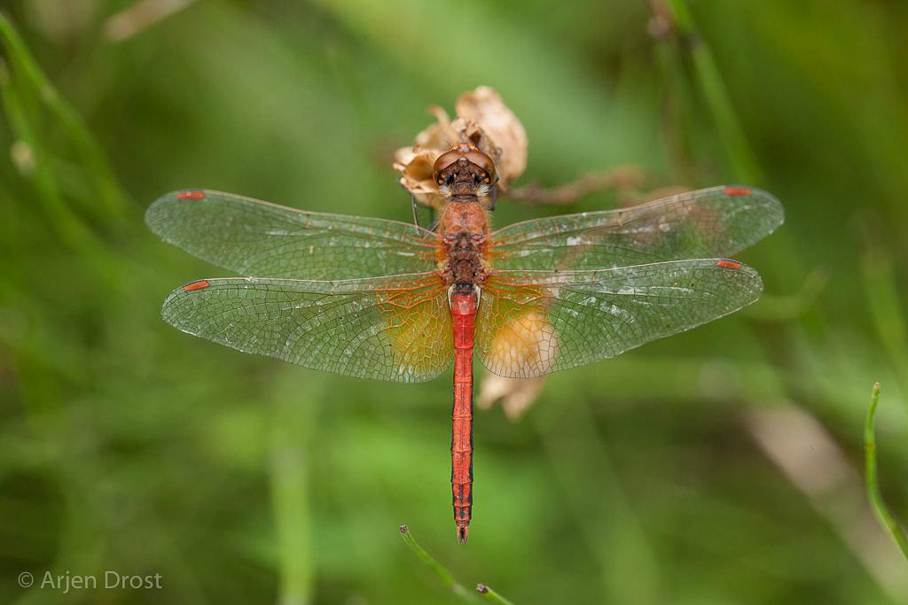Let op de kenmerkende grote gele basisvlek op de achtervleugel van dit mannetje geelvlekheidelibel. De zijstreep op het achterlijf is niet onderbroken.