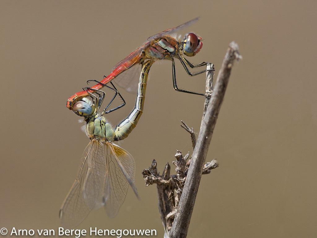 Behalve een oranje basisvlek in de vleugels zijn de eerste drie aders in beide seksen van de Zwervende heidelibel geel of rood. Ogen aan de onderkant blauw. De vlek, het pterostigma, in iedere vleugel is licht met een zwarte voor- en achterrand.