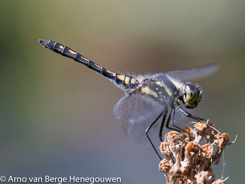 Een mannetje zwarte heidelibel zat met nog een soortgenoot vorig jaar bij mij in de tuin in Zoetermeer, ver van de heide. Herkenbaar aan de kleine gele vlekjes op de zijkant van het borststuk.