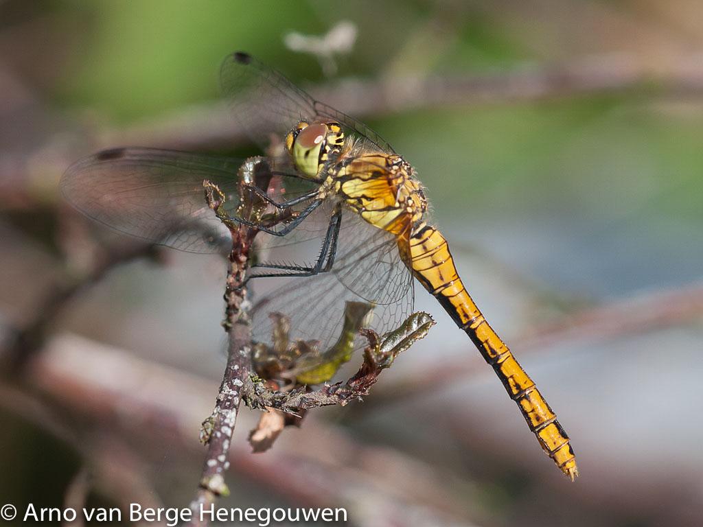 Behalve de kenmerkende zwarte poten hebben vrouwtjes bloedrode heidelibellen een cilindrisch achterlijf. Het is de enige inheemse soort zonder legschede.