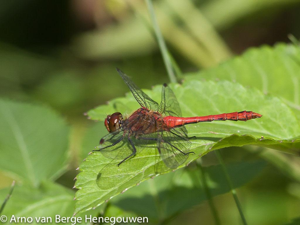 Bloedrode heidelibellen hebben zwarte poten. Het mannetje heeft een knotsvormig achterlijf. De Kempense heidelibel heeft ook zwarte poten, maar is veel zeldzamer.