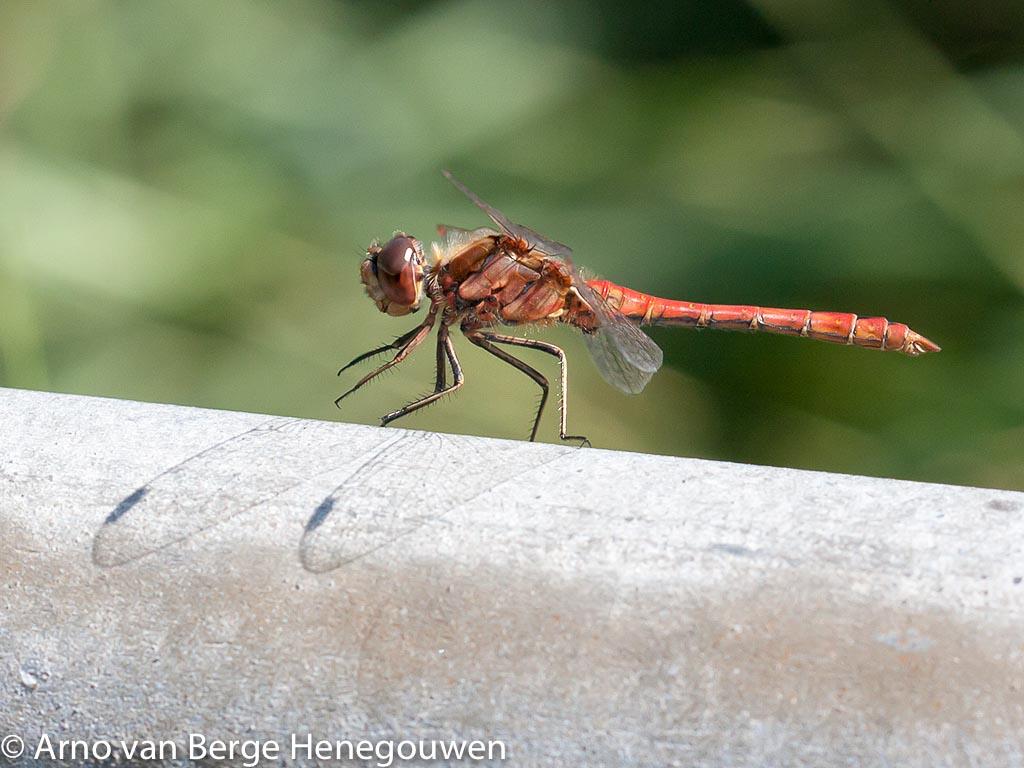 Steenrode heidelibellen hebben een hangsnor langs de oogbinnenzijde.