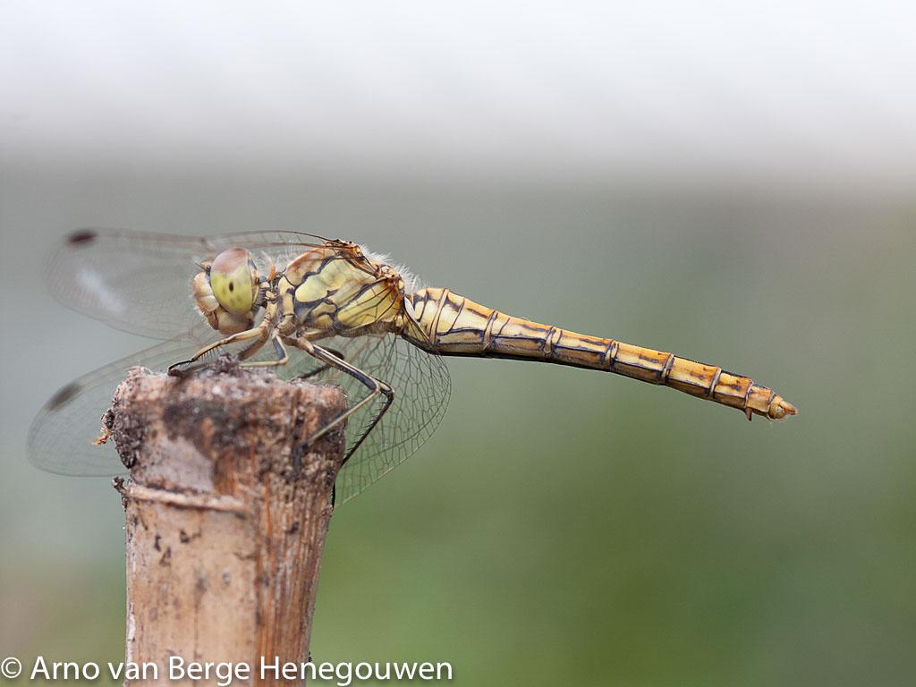 Vrouwtje steenrode heidelibel met afstaande legschede met scherpe punt.