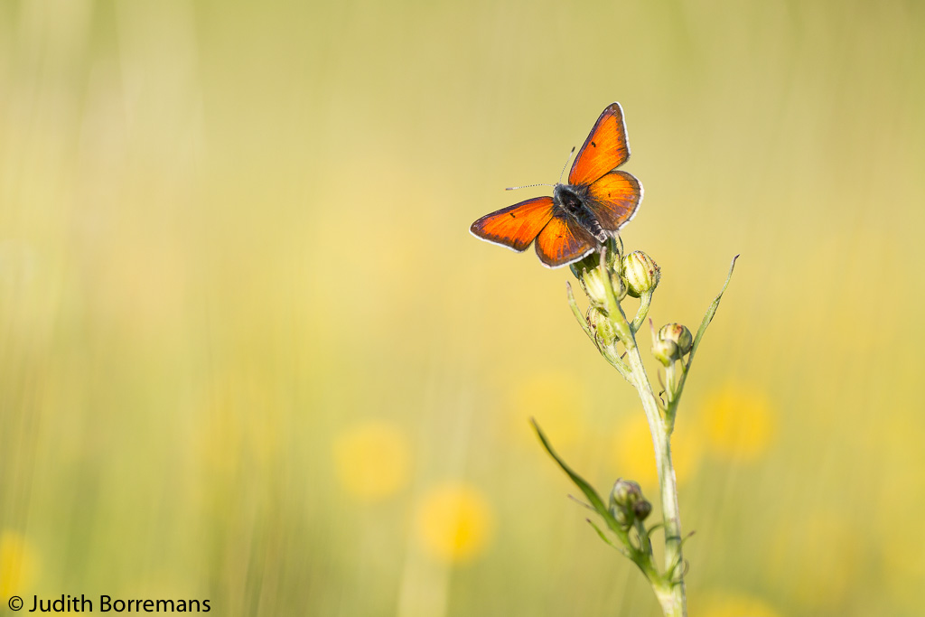 Rode vuurvlinder