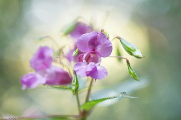 Bloemen van reuzenbalsemien met de lichte bosrand op de achtergrond.