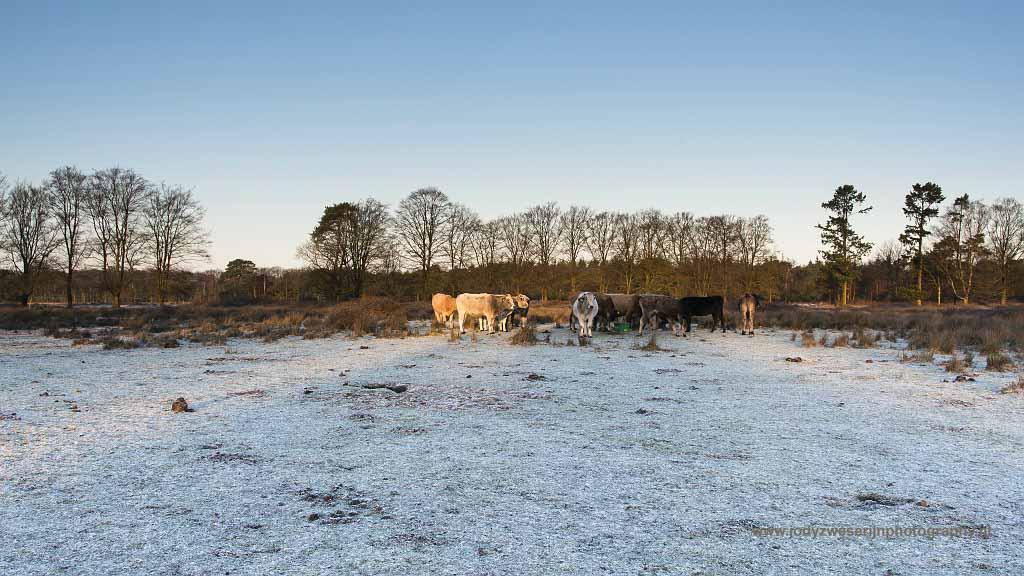 Piëmontese koeien zorgen dat de heide niet vergrast, winterperiode