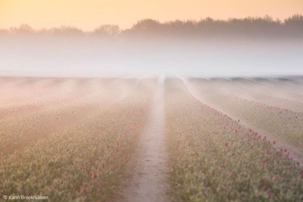 Tulpen in de mist II