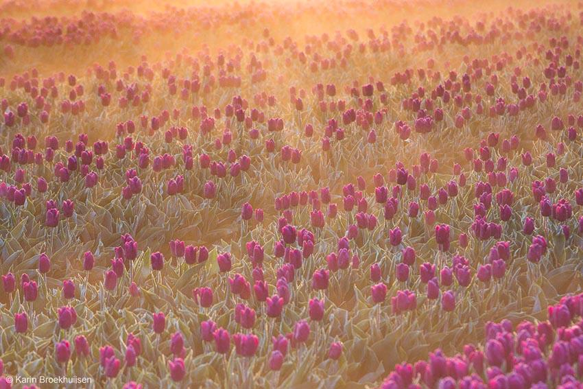 Tulpen in de mist