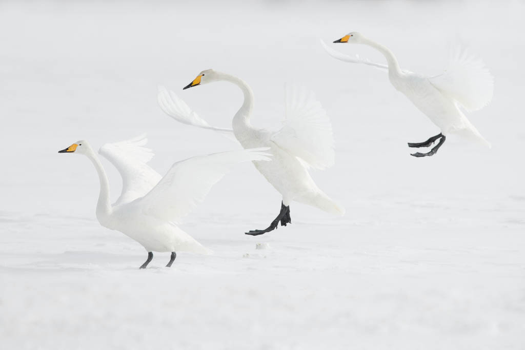Wilde zwanen in Hokaido