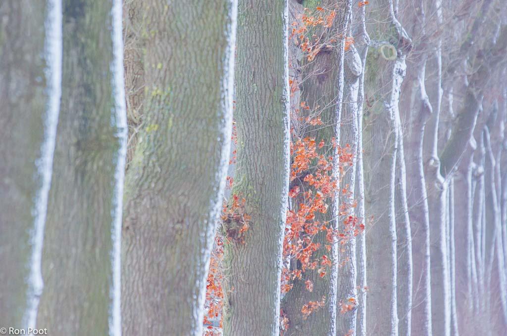 Besneeuwde eiken en dode bladeren.
