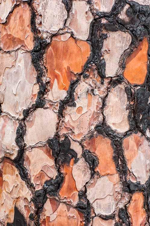 Verbrande boomschors van de Canarische den