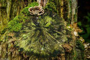 Elfenbankje op een dode boomstronk. De zonering van de jaarringen herhaalt zich in het elfenbankje. - Fotograaf: Ron Poot