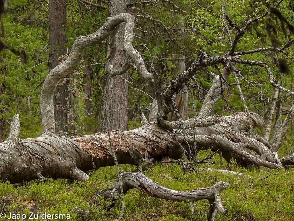 Veel omgevallen dode bomen maken het bos minder dicht.