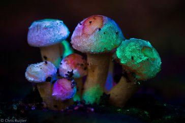 Party-on. Gekkigheid. Met een kleine discolamp zijn deze Zwavelkopjes bijna fluorescerend gemaakt.