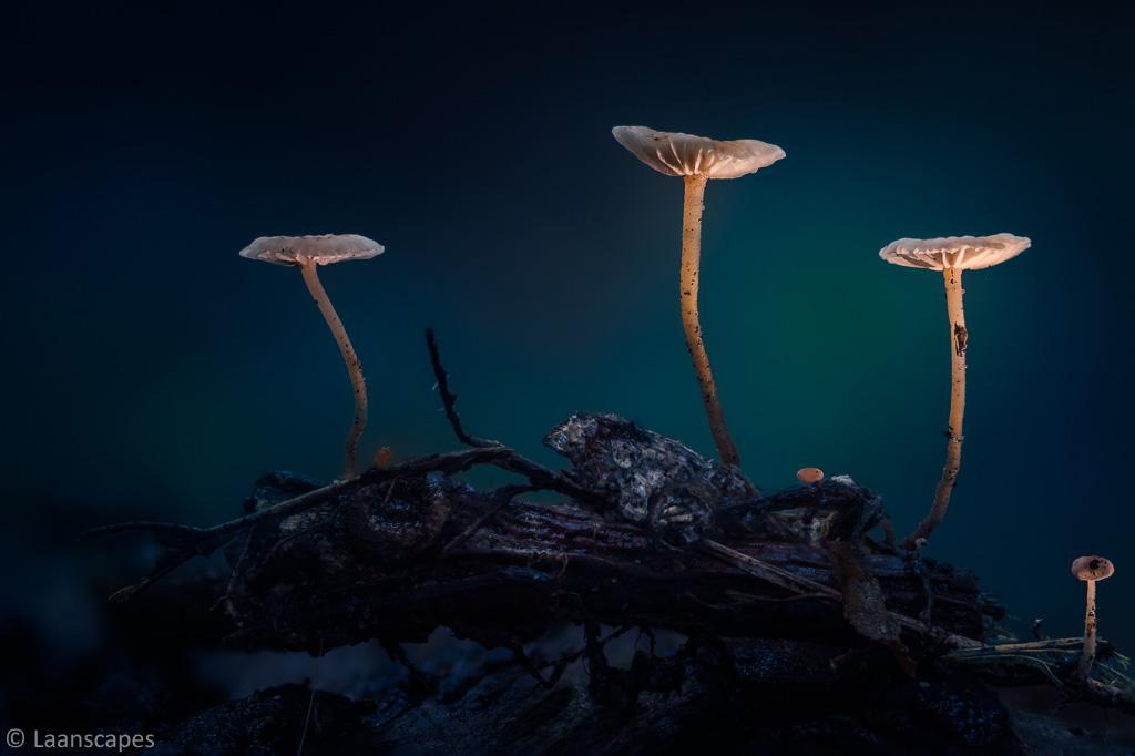 De natuur heeft een enorm herstellend vermogen. Deze kleine zwammetjes zijn ontstaan in een door bosbrand verwoest gedeelte van het bos. Het zwart combineert geweldig met de aangelichte zwammetjes en door het gebruik van een groot diafragma mengt het blauw van de nacht zich fraai met het groen van het bos.