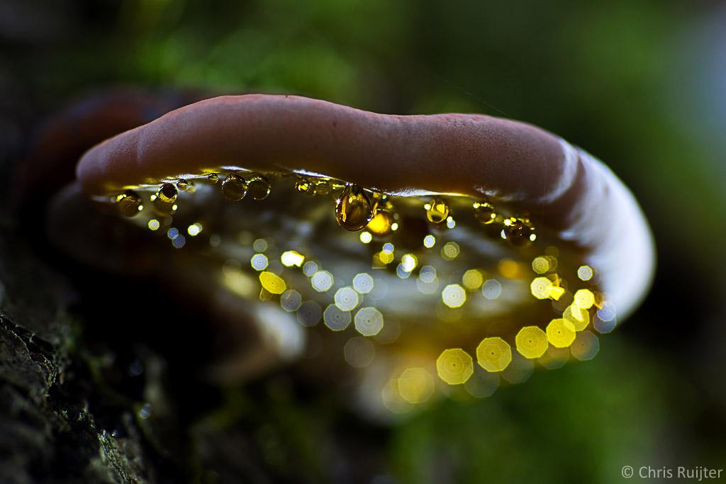 Guttatie is een proces waarbij het vocht uit de plant of paddenstoel naar buiten wordt gedrukt. Vaak 's ochtends vroeg als de luchtvochtigheid nog hoog is. Ze kunnen de meest geweldige kleuren hebben. Deze goudgele druppels zijn van onderen aangelicht met een zaklamp. het geoefend oog ziet dat deze foto met een geknepen diafragma is gemaakt.