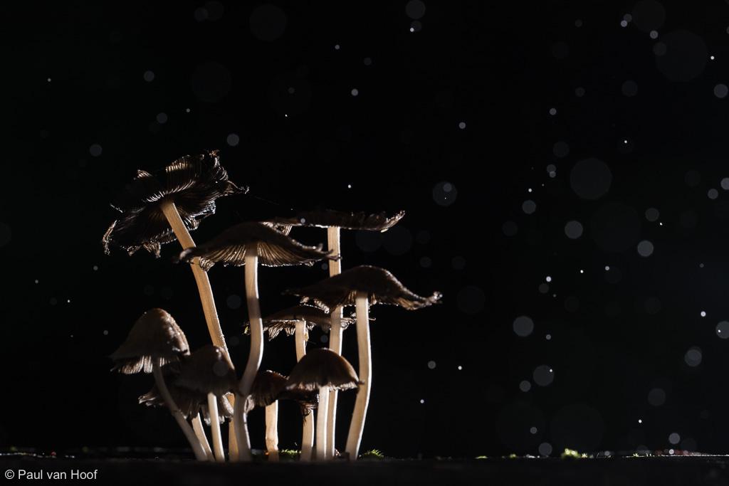 Een mooie groep Glimmerinktzwammen in de regen. Door de enkele flits van rechts achter ontstaat een dramatisch beeld met de paddenstoelen en lichten de regendruppels op.
