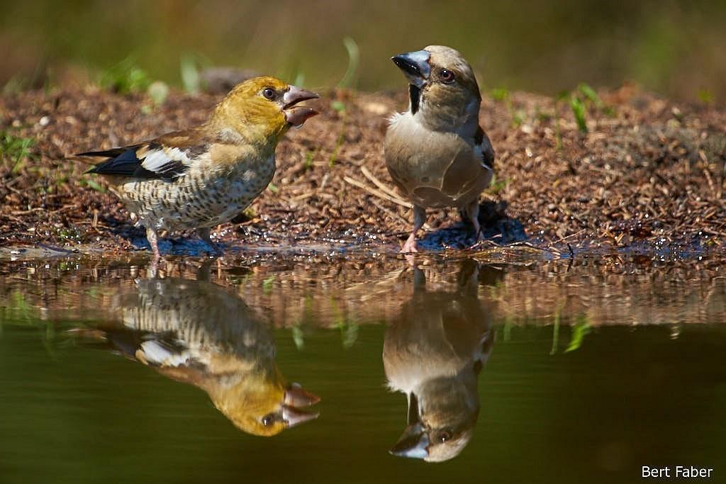 """""""Heb je het al gehoord? Bert gaat vogelen… Ech nie, gekkie"""""""