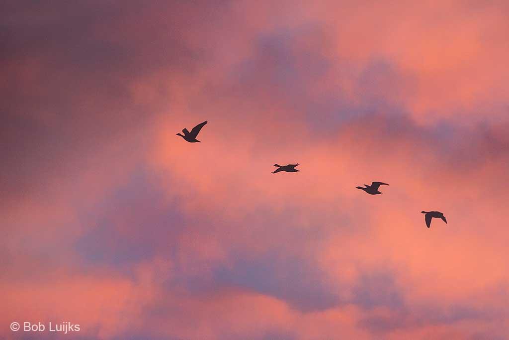 Gewoon wat overvliegende ganzen, maar dan wel tegen een erg fraai gekleurde lucht.