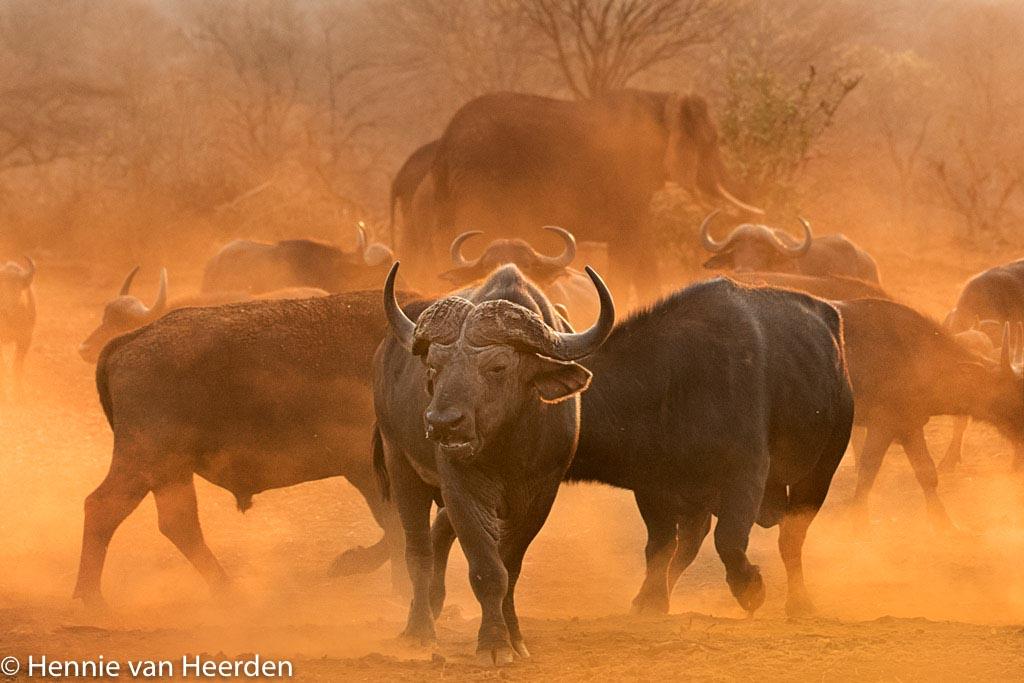Buffels bij zonsondergang.