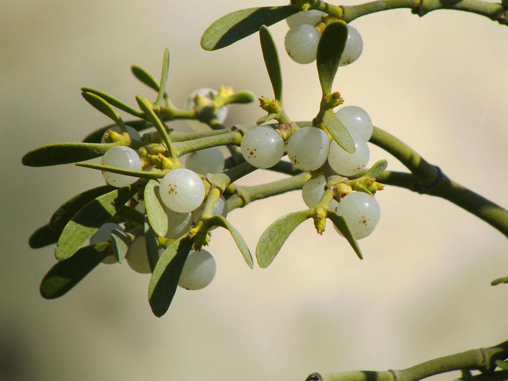 Het vruchtbeginsel van de maretak is onderstandig. De bes laat dat zien in de restanten van de bloem die als donkere vlekken op de top van de bes zitten.