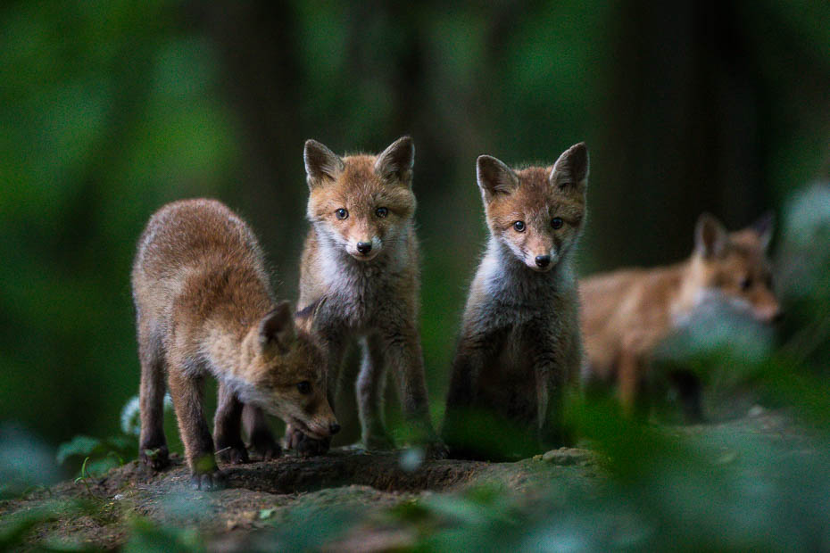 Ontmoeting met jonge vosjes
