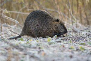 Ook 's winters zijn de dieren actief. - Fotograaf: Paul van Hoof