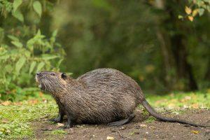 Beverratten zijn forse knaagdieren met een ronde staart. - Fotograaf: Paul van Hoof