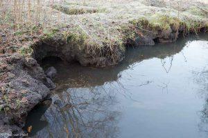Ingestorte holen van beverratten in de oever.  - Fotograaf: Paul van Hoof